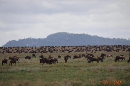 Wildebeest migration on the southern plains