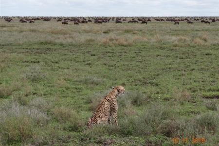 Cheetah watches the wildebeest migration