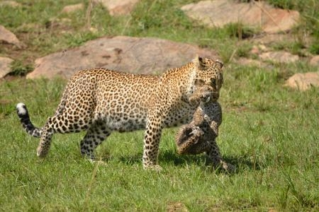 Bahati the leopard with her cub Olive