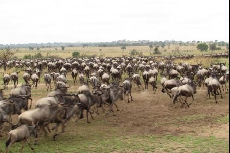 The wildebeest migration on the southern plains