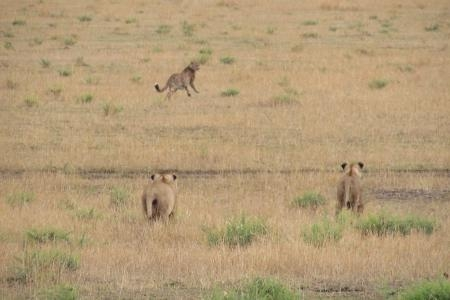 Lionesses chase a cheetah in the southern Serengeti