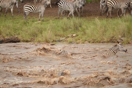 The Loita herds at the Mara River