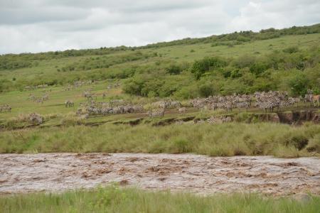 Zebra crossing the Mara River