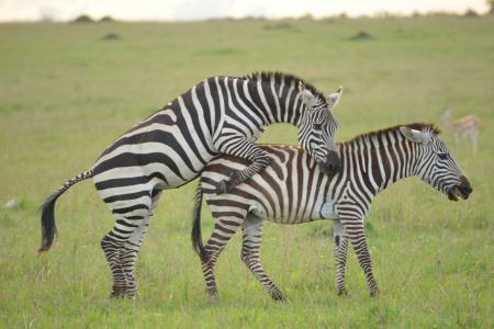 Zebra in the Mara Reserve