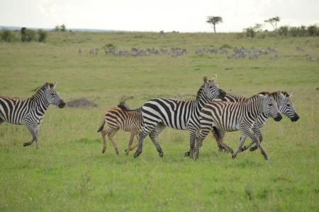 The resident herds in the Masai Mara