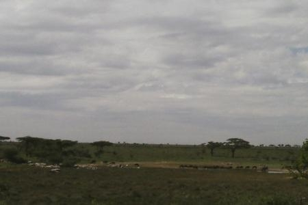 Some of the wildebeest are heading towards the central Serengeti