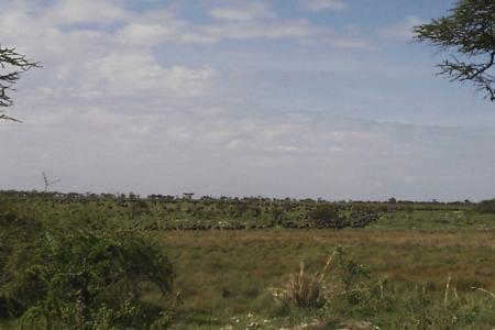 Wildebeest moving towards the Gol Kopjes