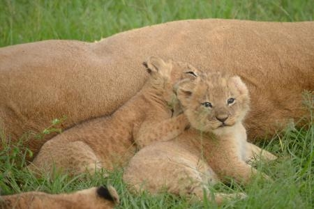 Lioness with her cubs in the Masai Mara