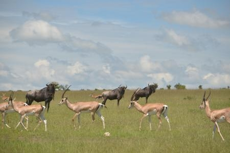 Three wildebeest try to stay hidden in the Mara Reserve