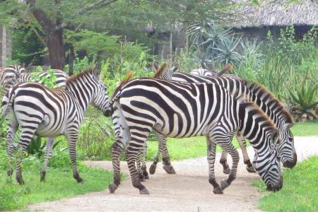 Zebra grazing close to the Ndutu Safari Lodge