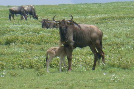 newborn wildebeest spotted in Naabi