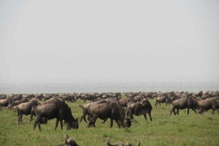 Wildebeest migration in the southern Serengeti