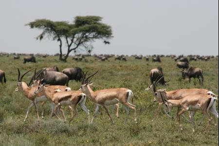 Thomson's gazelle and wildebeest in Ndutu