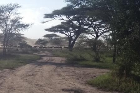 Wildebeest heading to the Naabi plains