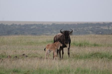 A newborn calf in the Naboisho Conservancy