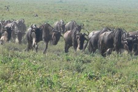 The wildebeest are arriving back on the Ndutu plains