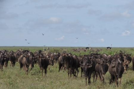 Wildebeest moving towards the Marsh woodlands