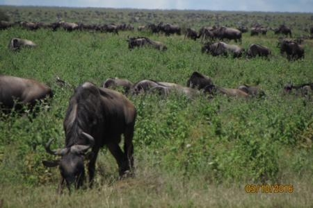 Wildebeest on the marsh woodland