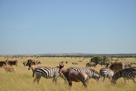 Thousands of Loita zebras have arrived in the Mara Reserve