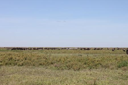 The wildebeest migration on the Makao plains