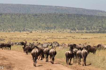 The herds are passing Serengeti Pioneer Camp