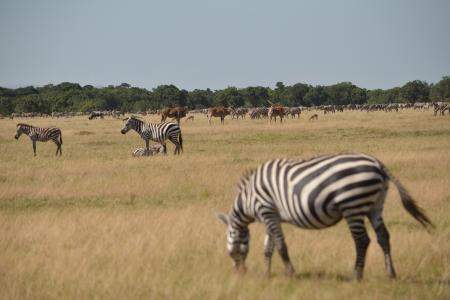 Loita / resident zebra