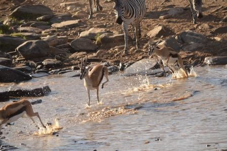 Thomson's gazelle crossing the Olare Orok River