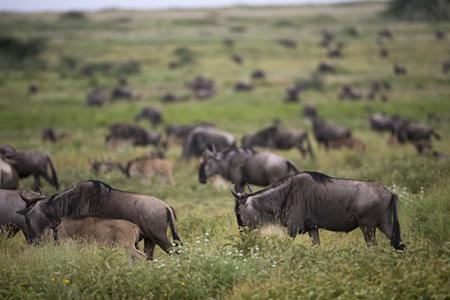 The wildebeest migration close to Ndutu