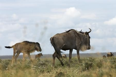 Wildebeest on the plains south of Ndutu