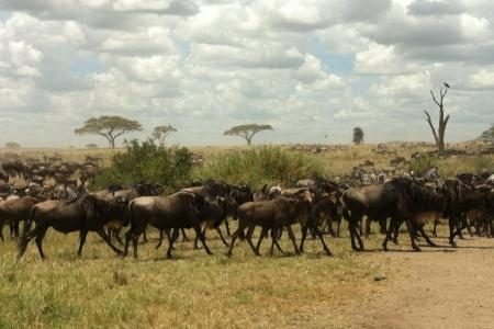 The wildebeest migration is in Seronera