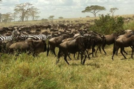 Wildebeest and zebra in Seronera