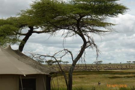 Thousands of wildebeest at Namiri Plains