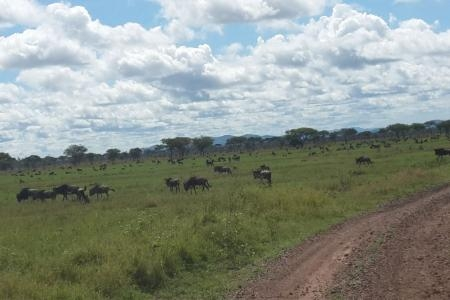 The migratory herds close to Mbalageti