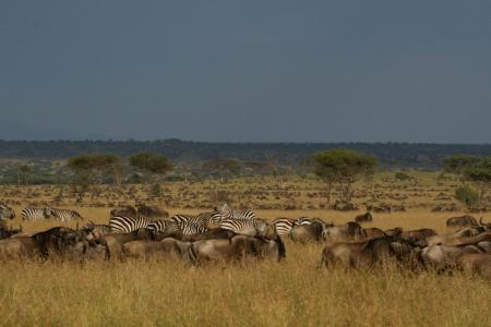 Wildebeest on the Nyati Plains