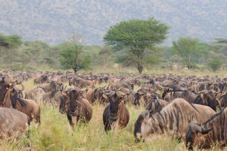 The migration heading towards the Nyasirori Plains