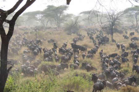 The wildebeest migration in the Western Corridor