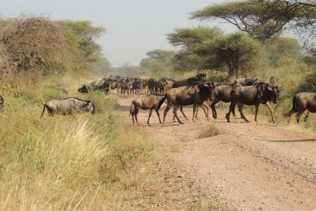 The herds are 60km west of Seronera
