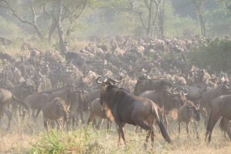 The herds are in the Western Corridor