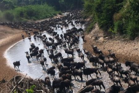 Wildebeest migration at the Grumeti River