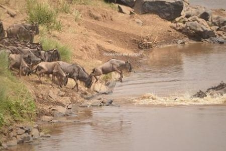 Wildebeest migration crossings at Look-out Hill