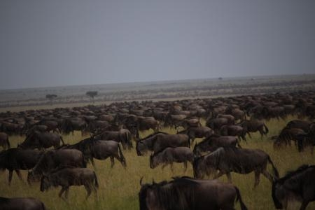 Wildebeest move from west to east at the main crossing point