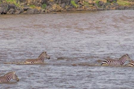 Crocodile takes down zebra at the main crossing point