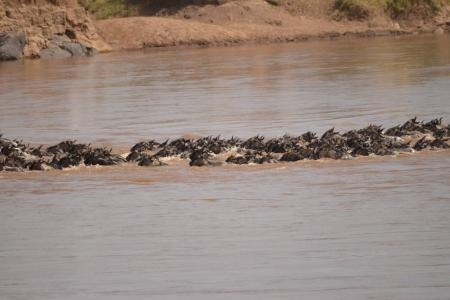 Wildebeest migration crossing the Mara River at the cul de sac crossing point