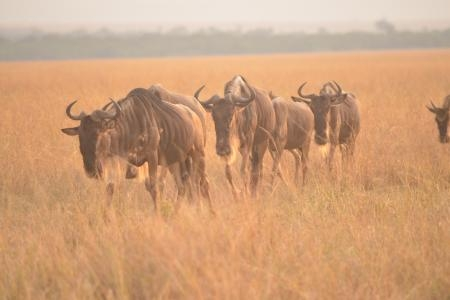 The herds in the Mara Triangle Conservancy