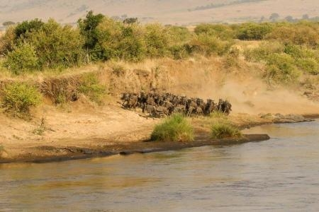 Wildebeest at the Mara River
