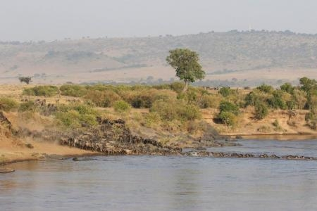 20,000 wildebeest cross the Mara River