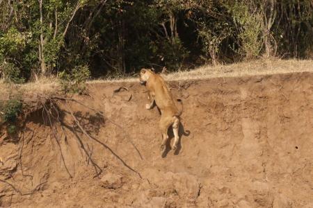 Jicho climbs up the Mara River bank