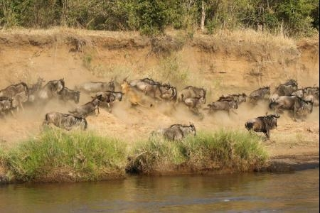 The herds at the Mara River
