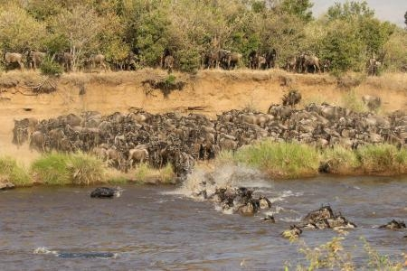 Wildebeest jump into the Mara River