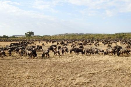 Wildebeest massing close to the Mara River